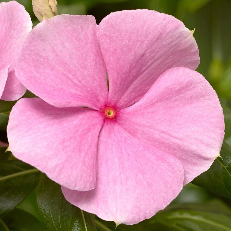 Periwinkle (Vinca) Pink