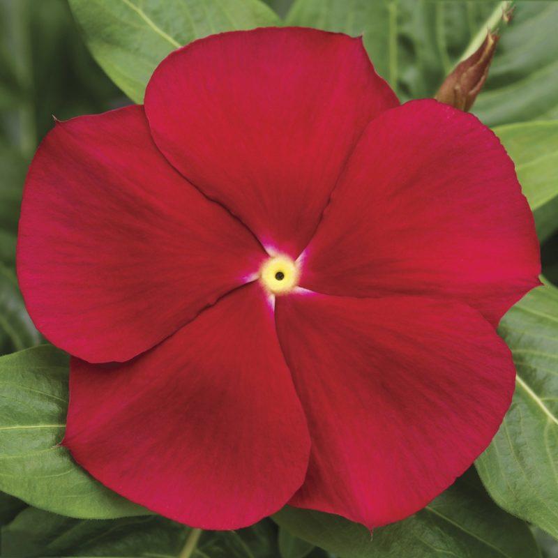 Periwinkle (Vinca) Red