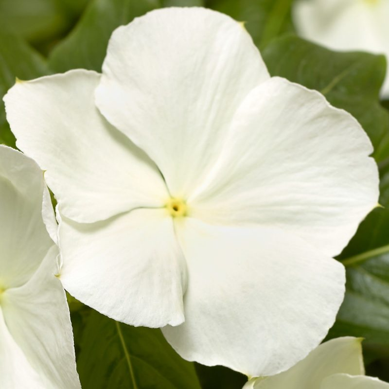 Periwinkle (Vinca) White