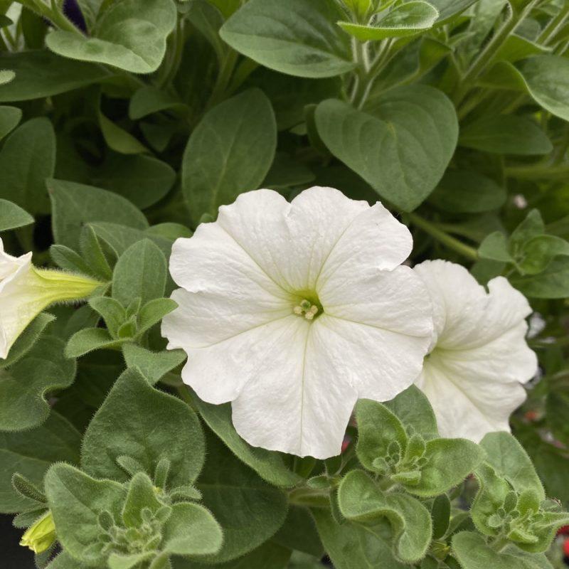 Petunias (Trailing White