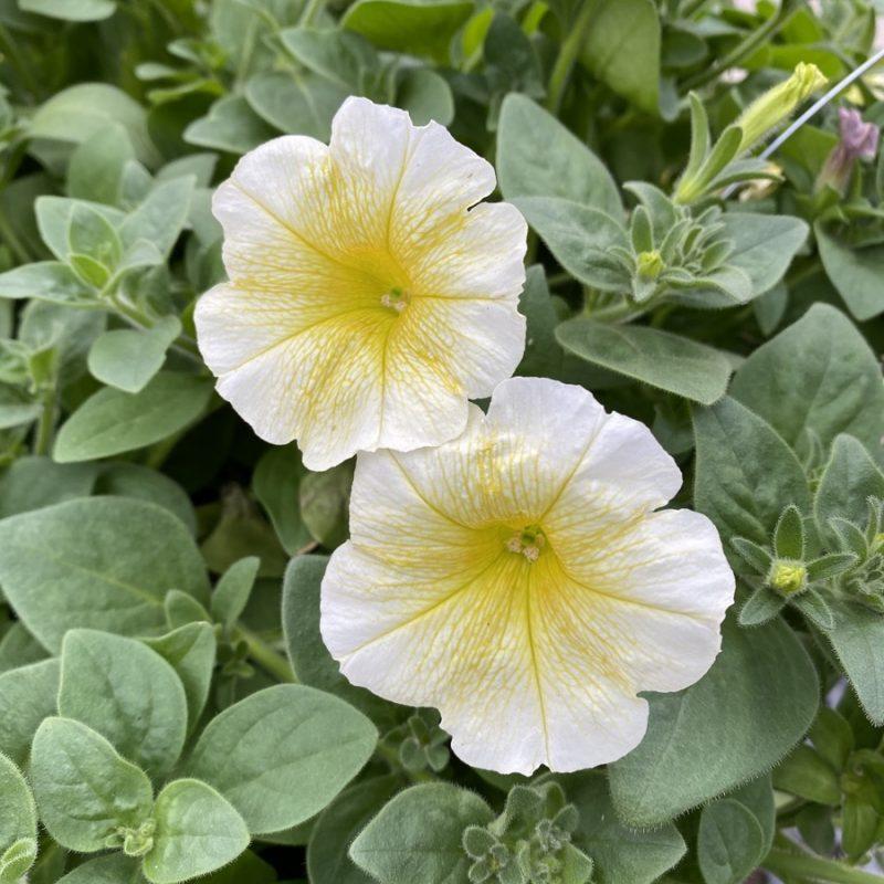 Petunias (Trailing Yellow