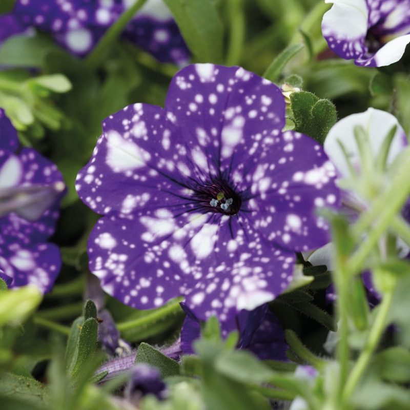 Petunias (Trailing Night Sky