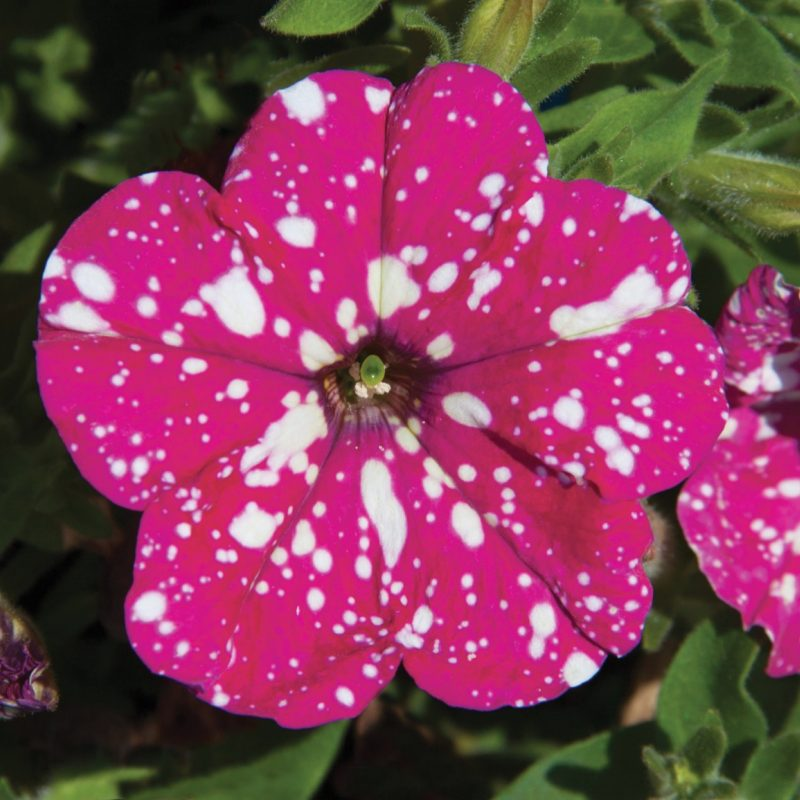 Petunias (Trailing Pink Sky