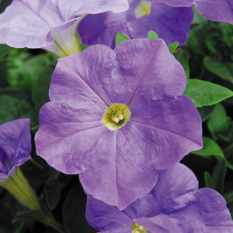 Petunias (Trailing Sky Blue