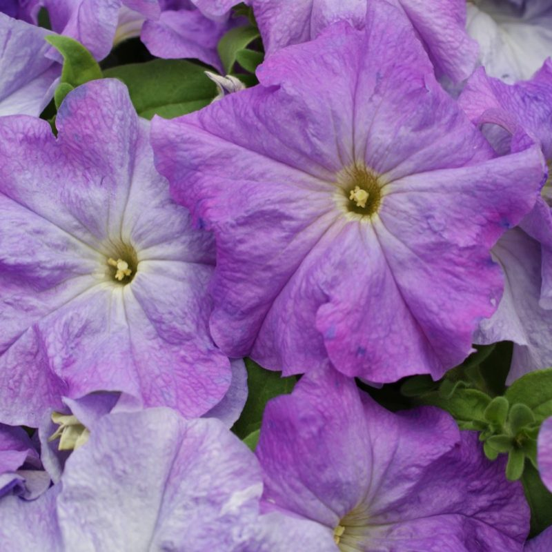 Petunias Sky Blue