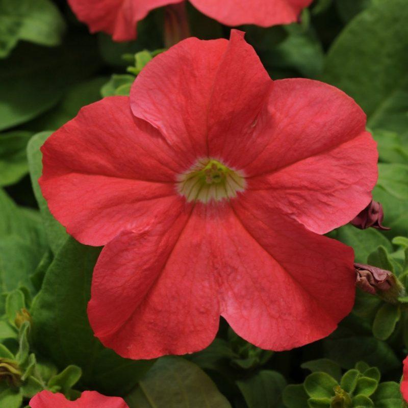 Petunia Pretty Grand Coral Bloom 7292