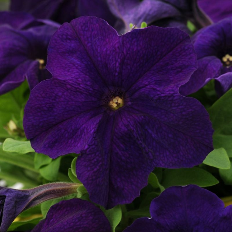 Petunia Pretty Grand Midnight Bloom 7290