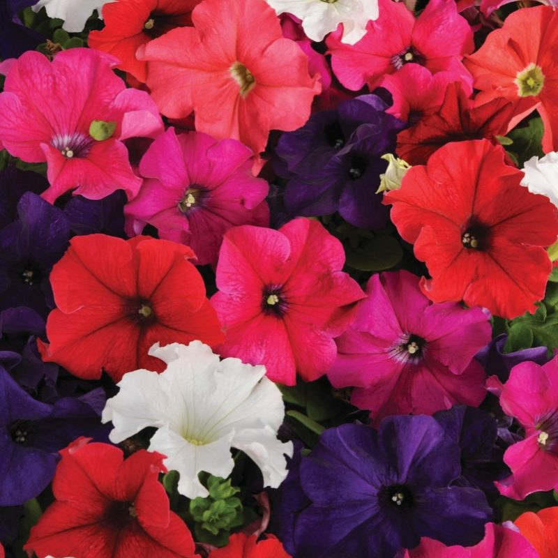 Petunia Pretty Grand Mix Bloom 73961
