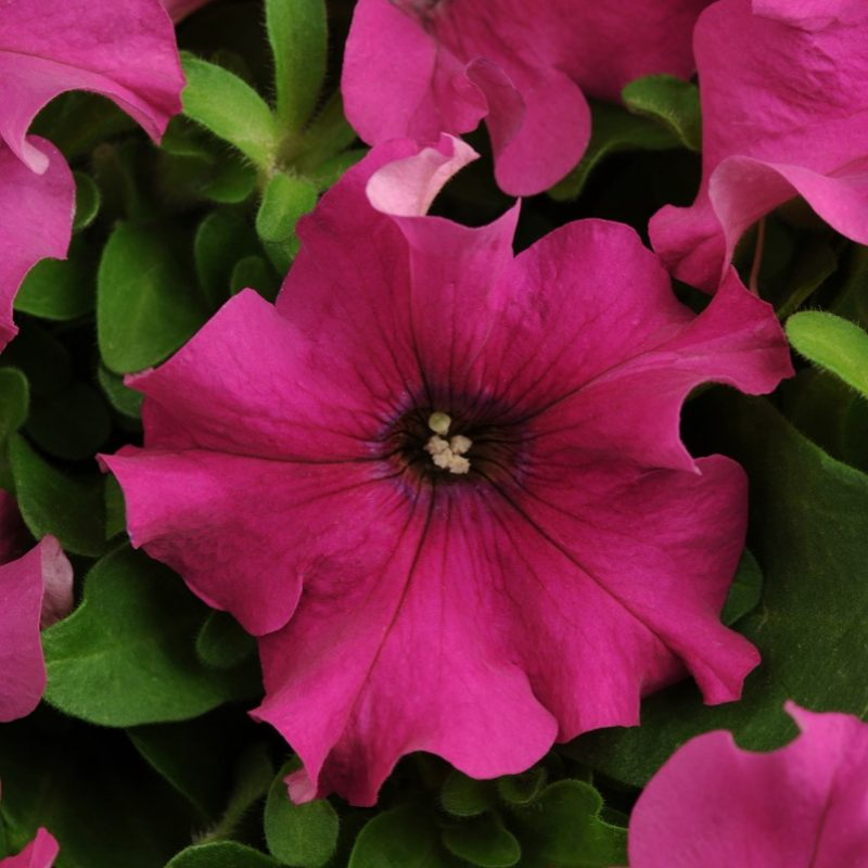 Petunia Pretty Grand Purple Bloom 7389