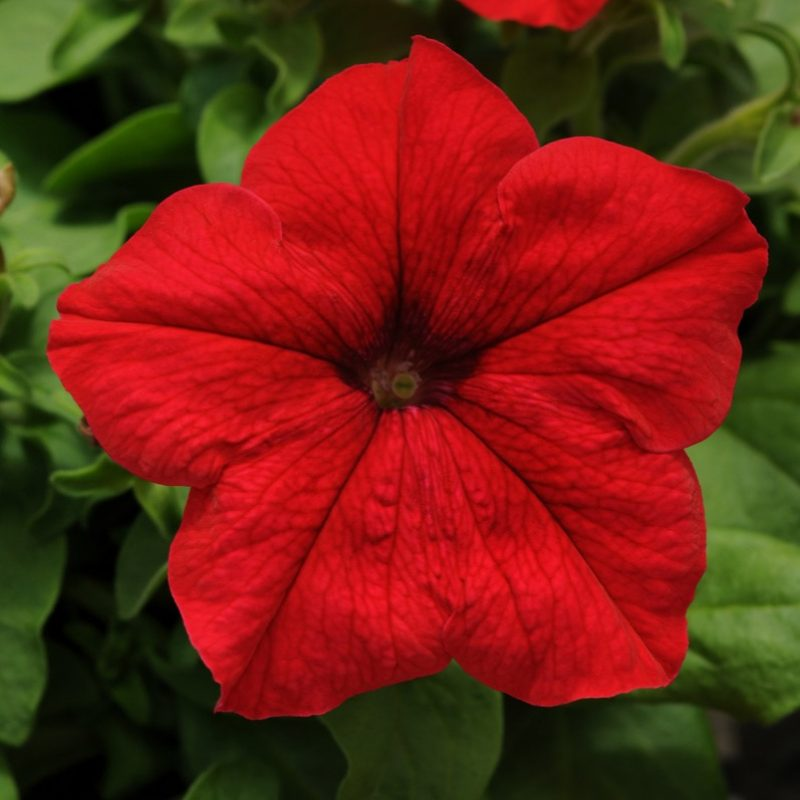 Petunia Pretty Grand Red Bloom 7371