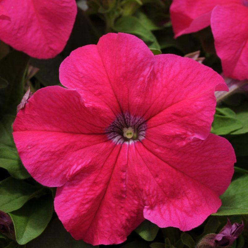 Petunia Pretty Grand Rose Bloom 7373