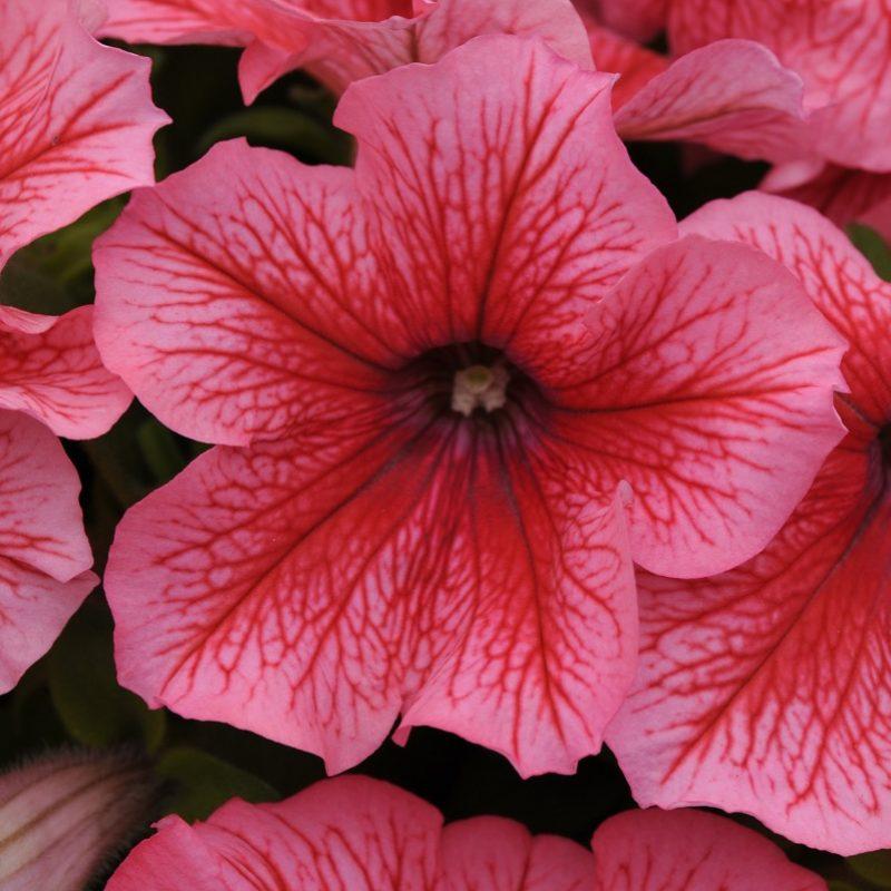 Petunia Pretty Grand Summer Bloom 7415