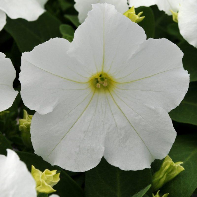 Petunia Pretty Grand White Bloom 7375