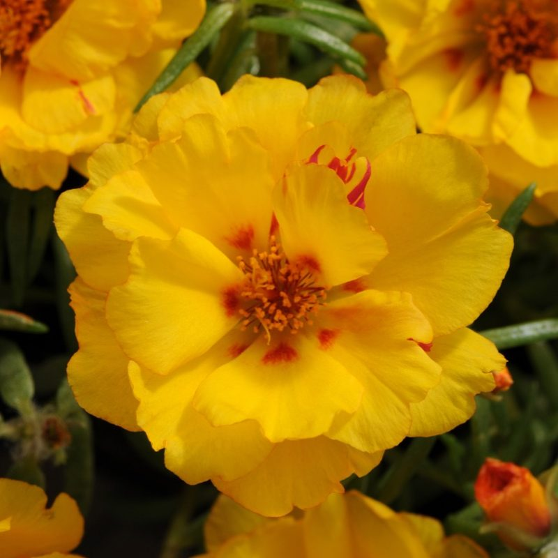 Moss Rose Yellow
