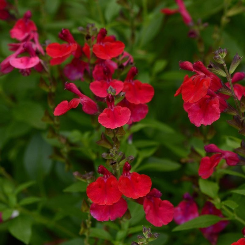 Salvia Mirage Cherry Red Bloom 12290