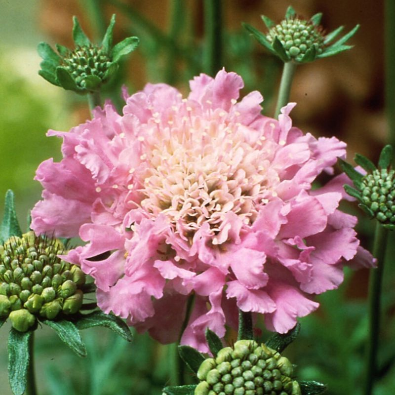 Scabiosa (Pin Cushion) 'Pink Mist'