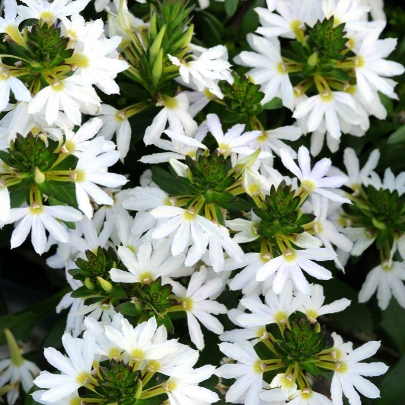 Scaevola White Sparkle Bloom 12892