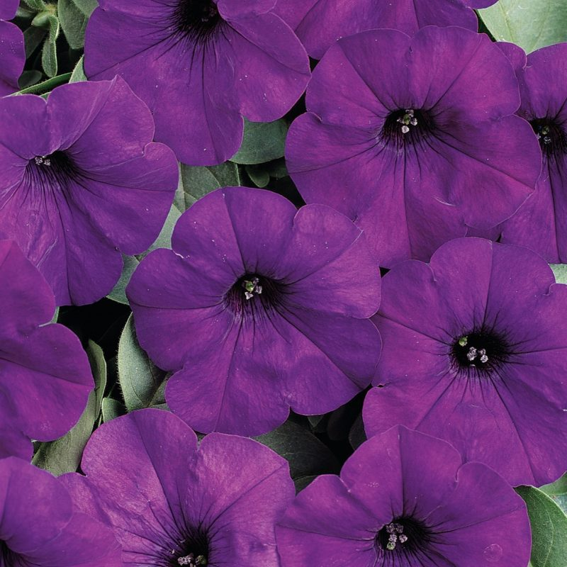 Petunias (Trailing Blue