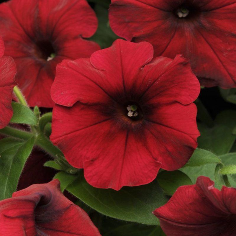 Petunias (Trailing Red