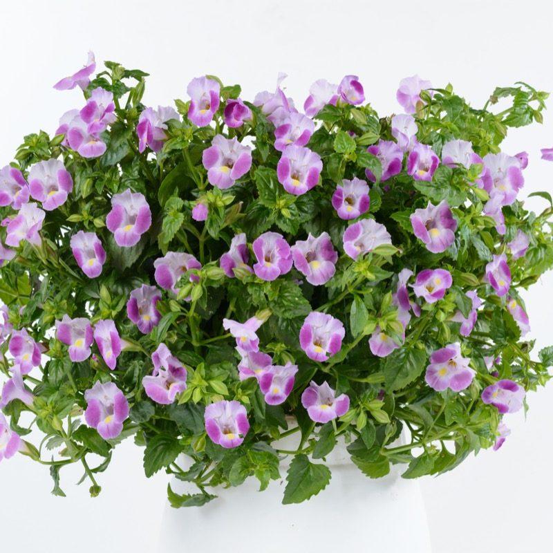 Torenia Rose