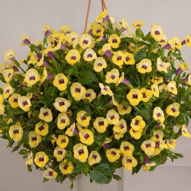 Torenia Yellow