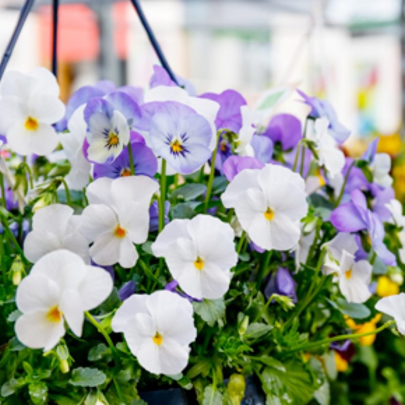 Trailing Pansy