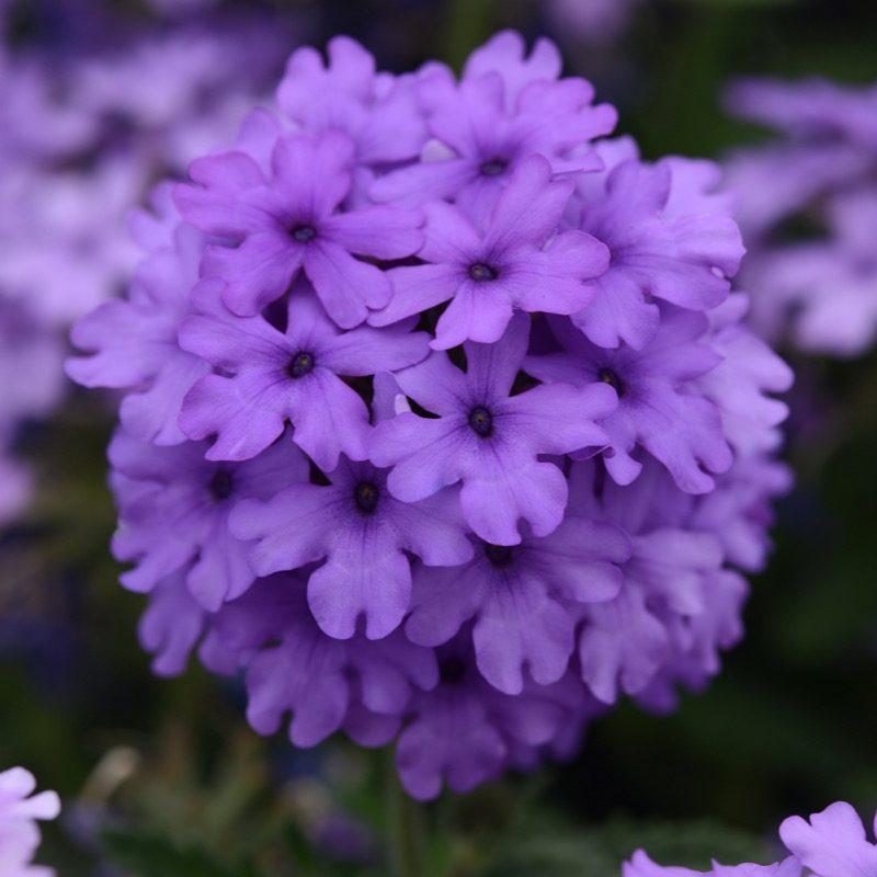 Verbena Endura Scape Blue Improved Bloom 18884
