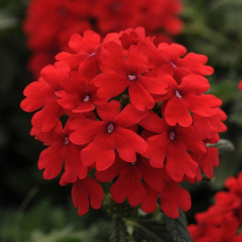 Verbena Endura Scape Red Bloom 9920