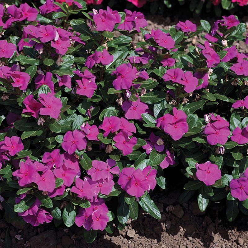 Cascade Periwinkle  Violet