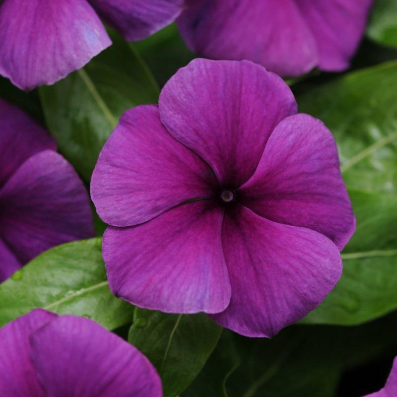 Periwinkle (Vinca) Blueberry