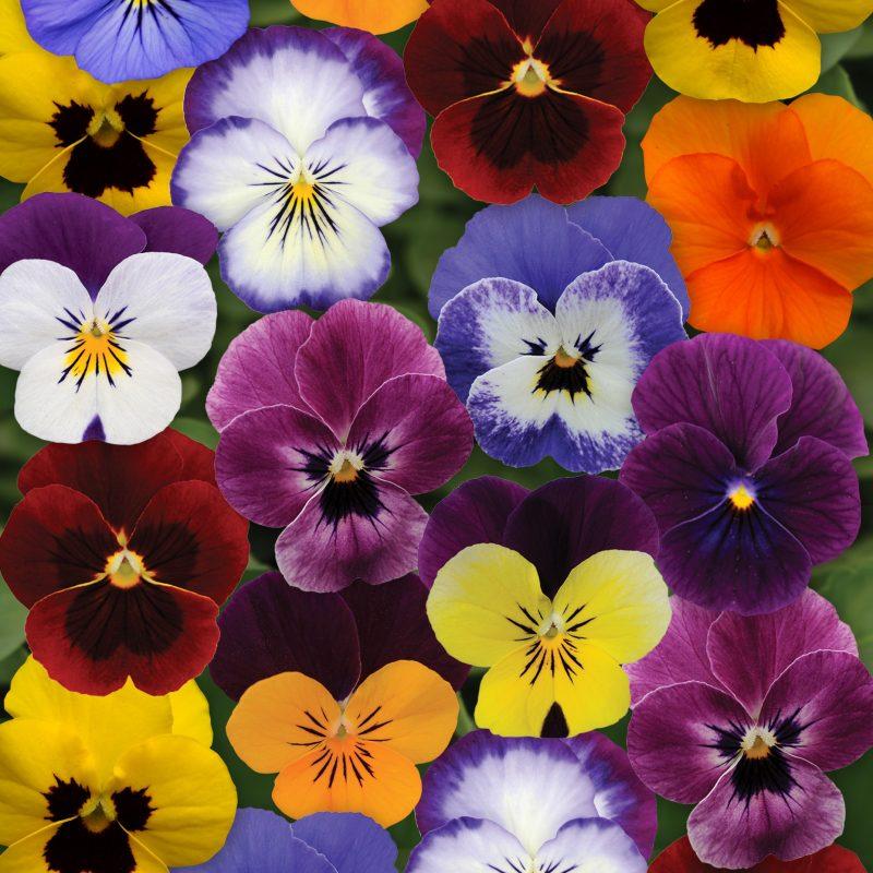Viola Autumn Select mix