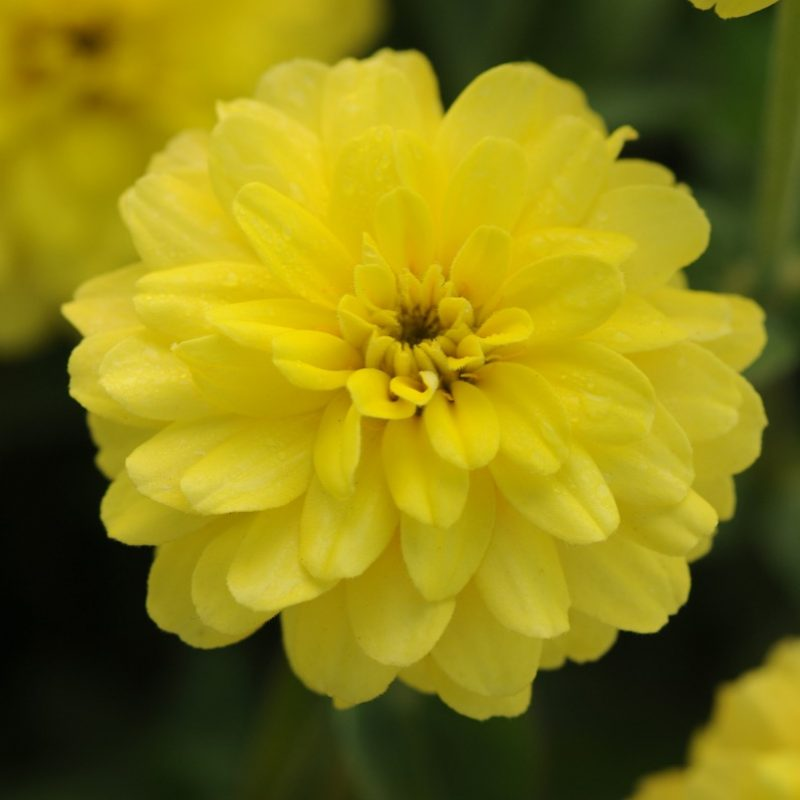 Zinnia Double Zahara Yellow Bloom 9486