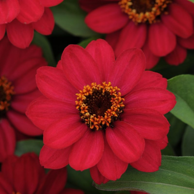 Zinnia Zahara Raspberry Bloom 9239