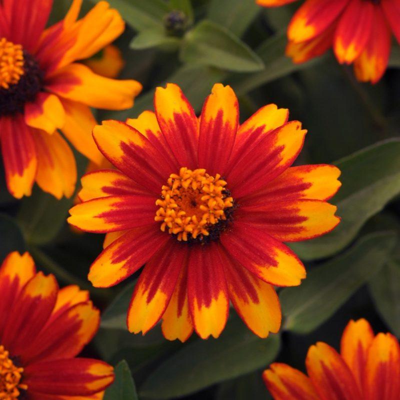 Zinnia Zahara Sunburst Bloom 9230