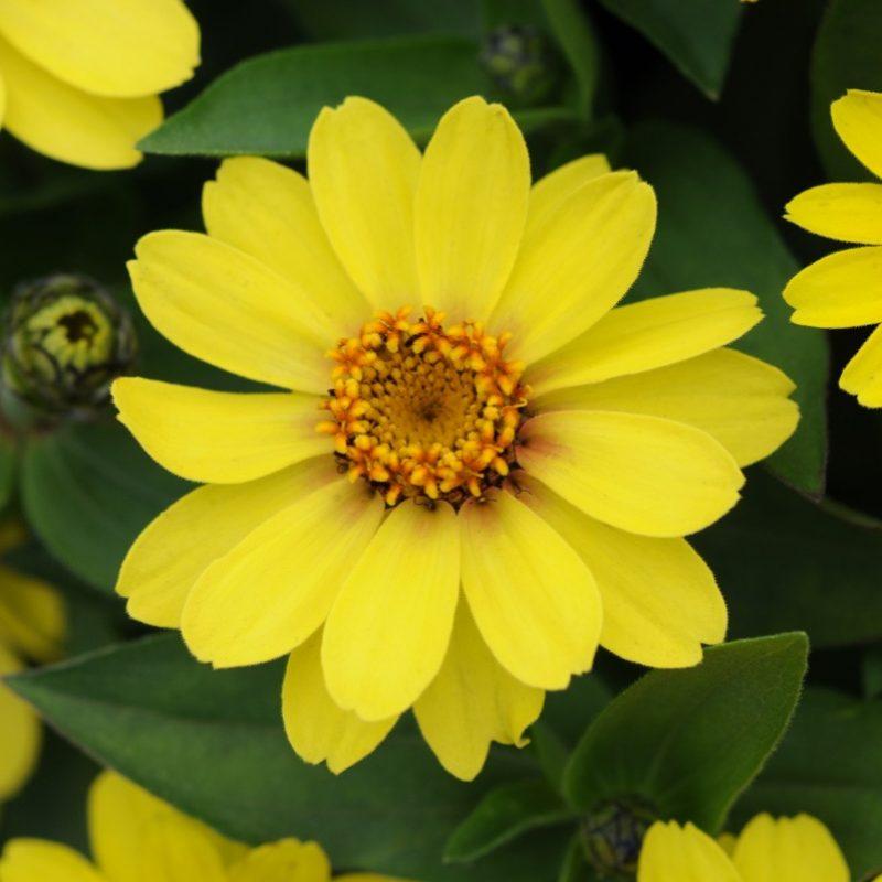 Zinnia Zahara Yellow Improved Bloom 9240