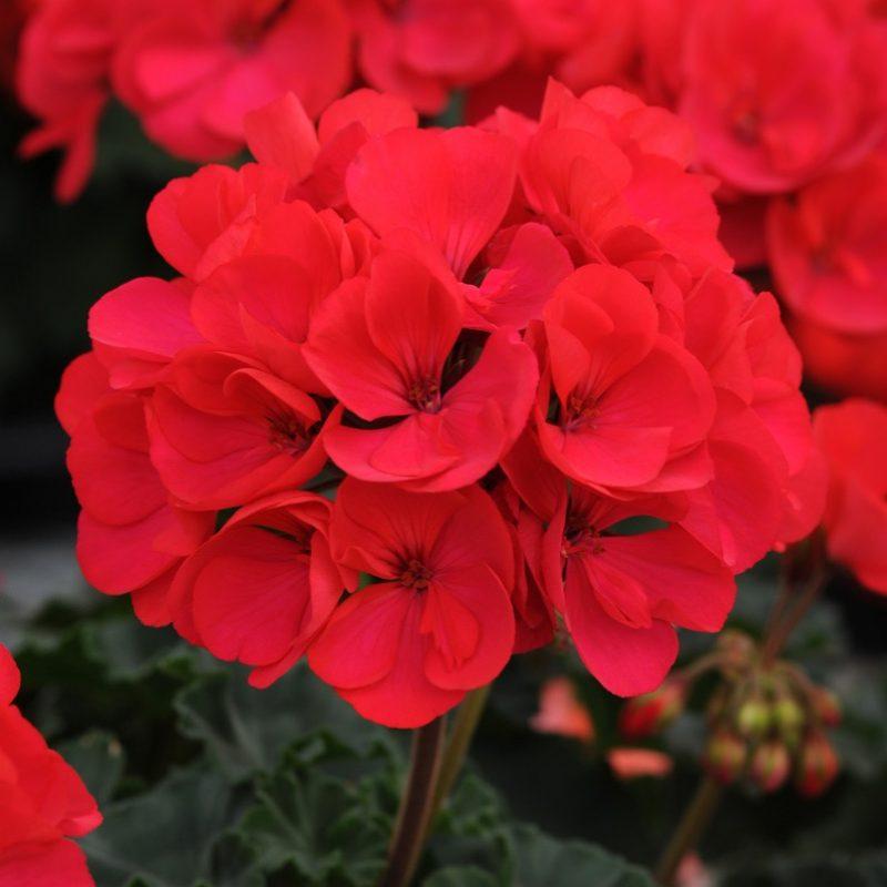 Zonal Geranium Presto Dark Fuchsia Bloom 3874 200402 171208