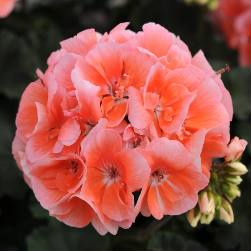 Zonal Geranium Presto Light Salmon Bloom 3879