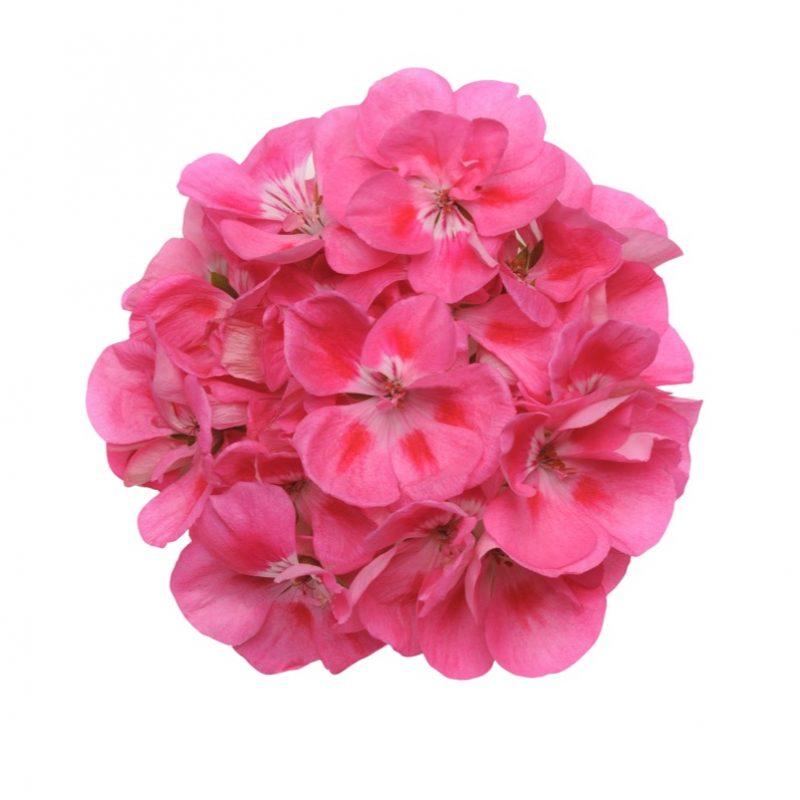 Zonal Geranium Presto Pink Eye Bloom 3880