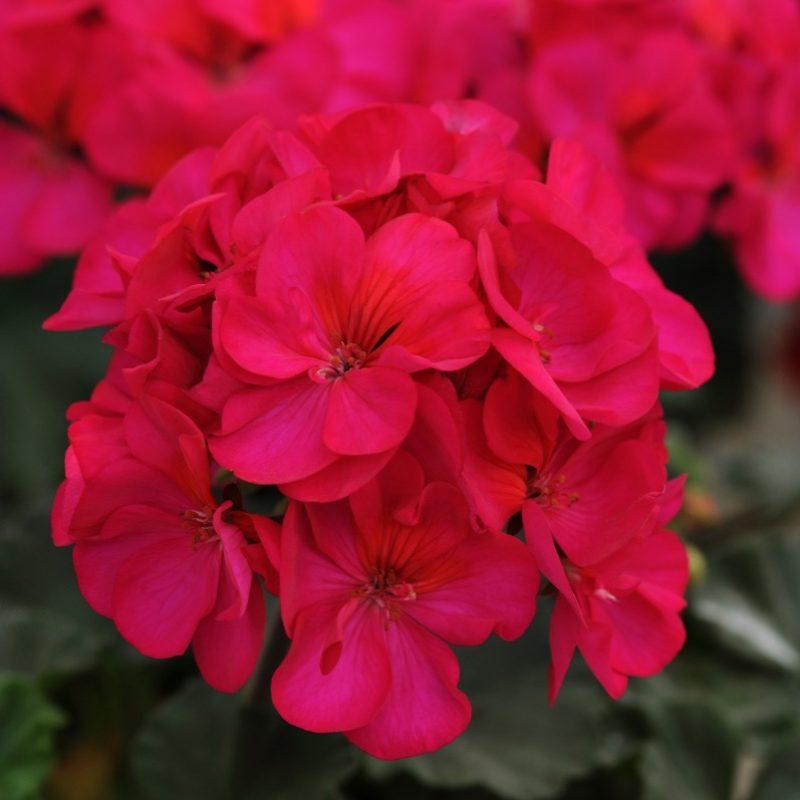 Zonal Geranium Presto Violet Bloom 3852