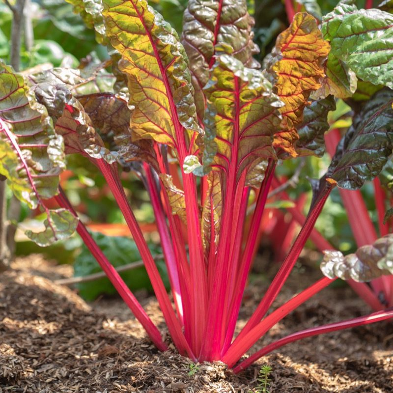 Chard red swiss