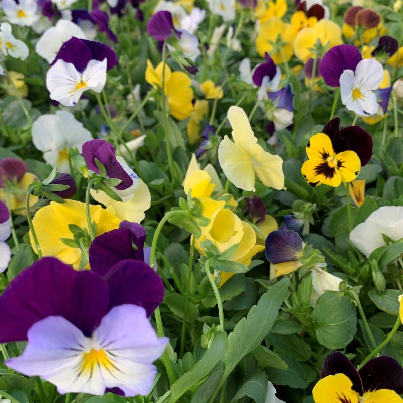 Cool wave mix trailing pansies