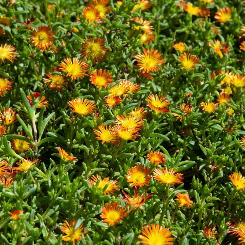 Delosperma orange