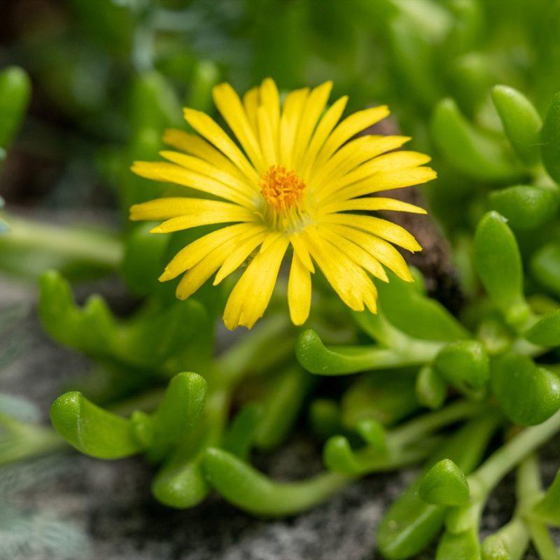 Delosperma yellow