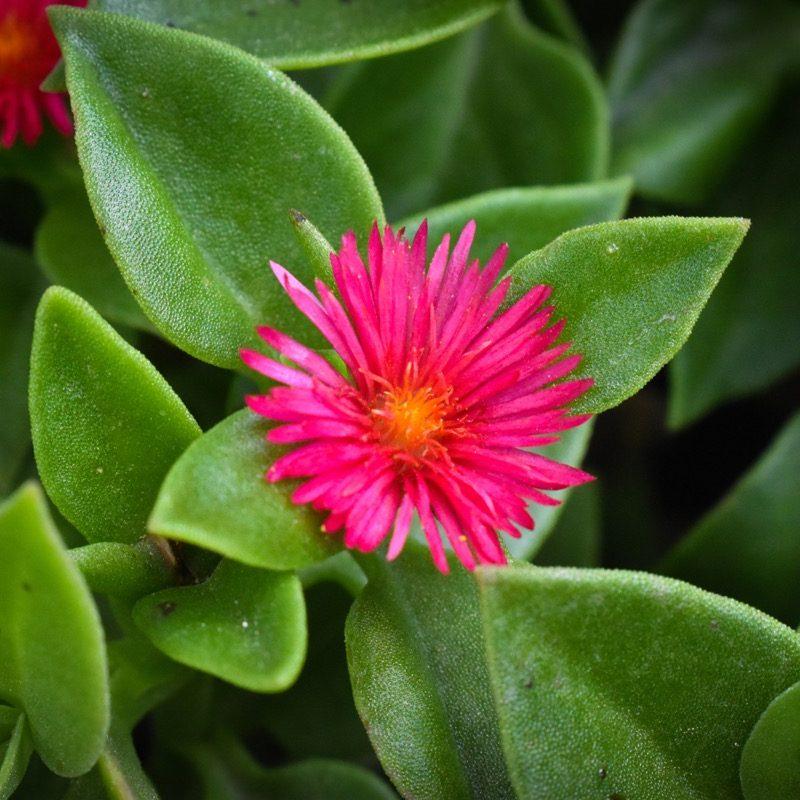 Ice Plant Pink