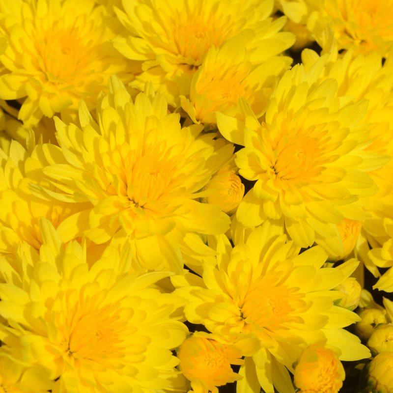 Mum Honeyblush yellow