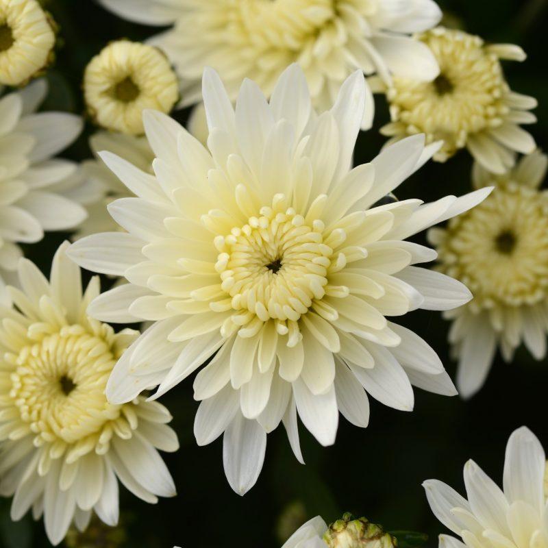 Mum alpine white