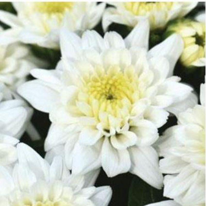 Mum celestial white