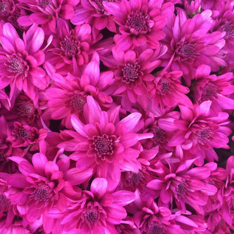 Mum grapeberry purple