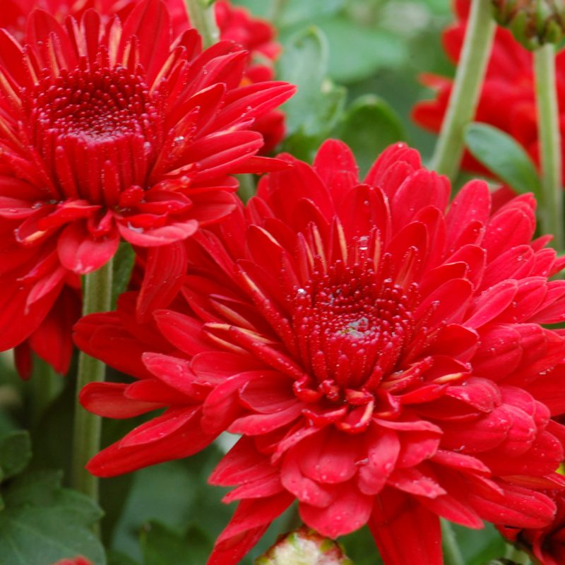 Mum radiant red