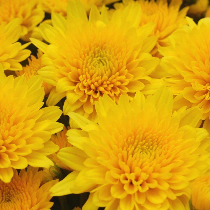 Mum yellow tang